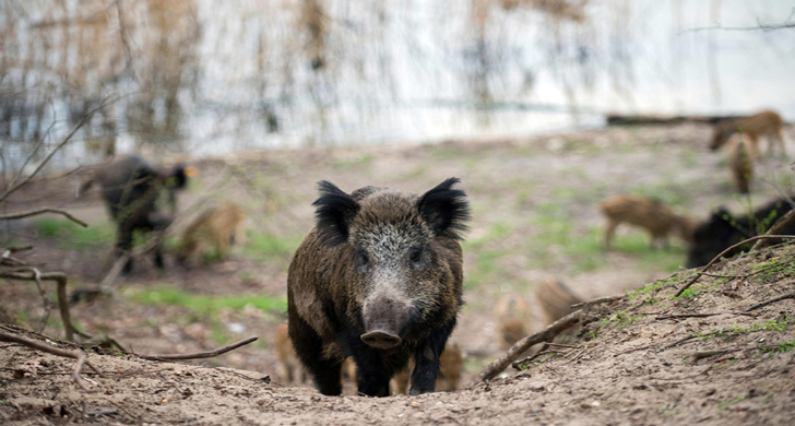 Wild boars in a forest borough of Tegel in Berlin, Germany, 5 April 2016. Wild animals find all they need in Berlin:Many green areas, shelter and food, mainly consisting of trash. PHOTO: GREGOR FISCHER/dpa