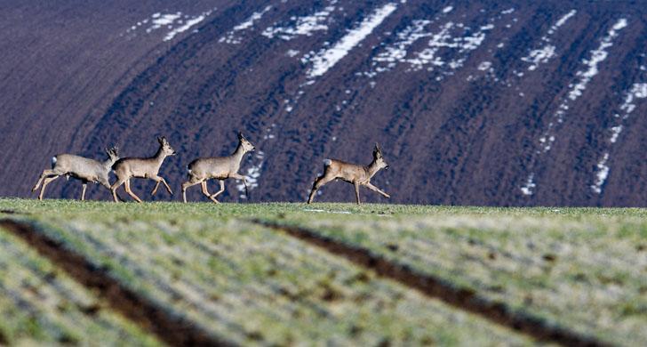 Deers run across a meadow near Hirschling in Bavaria, Germany, 13 February 2017. Photo: Armin Weigel/dpa