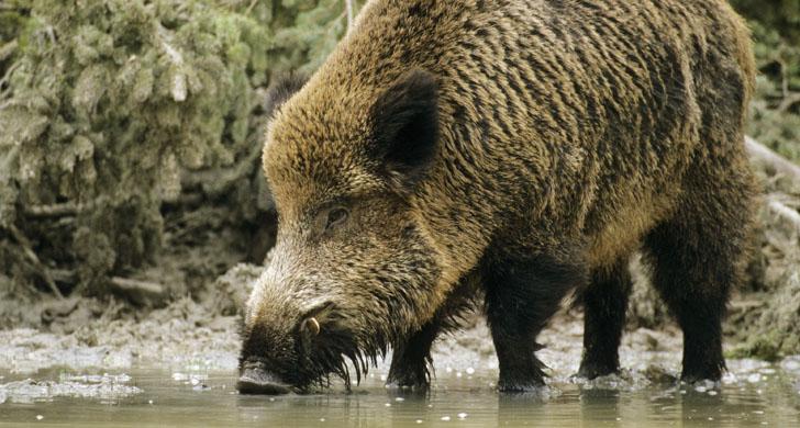 Wild boar - tusker - drinking  Sus scrofa